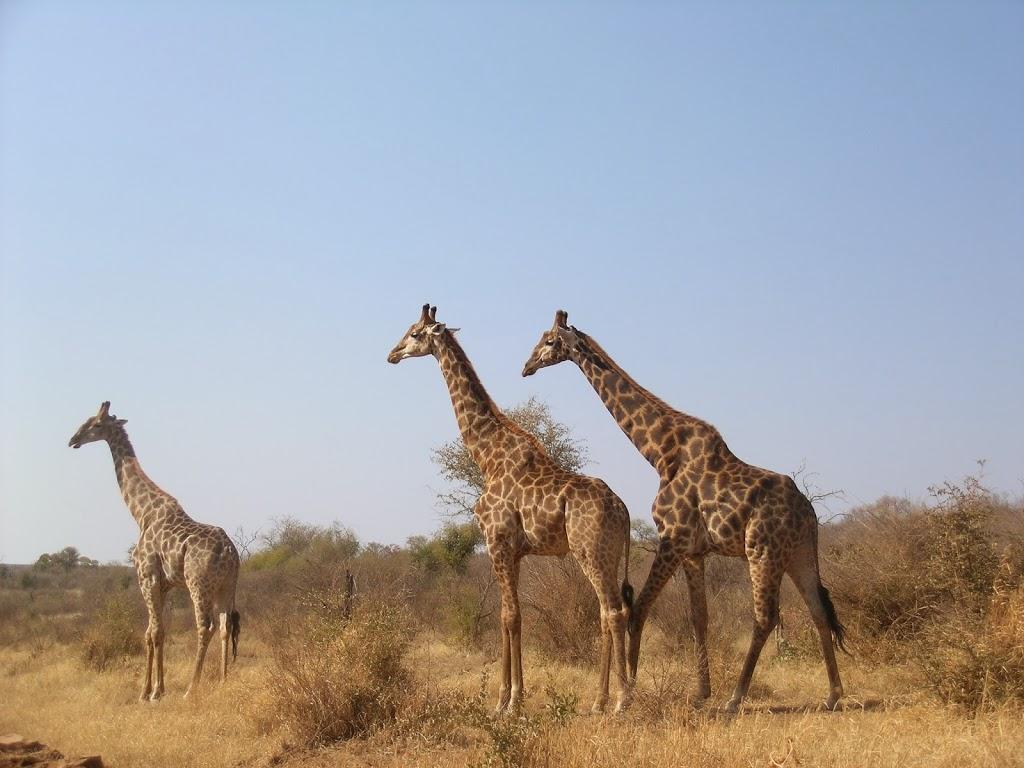 Girafes – Afrique du Sud