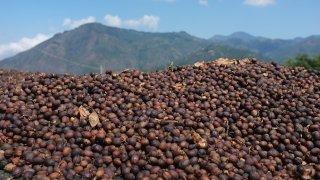 Grains de café séchant au soleil – Costa Rica