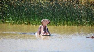 Hippopotame qui baille dans l'estuaire de St Lucia