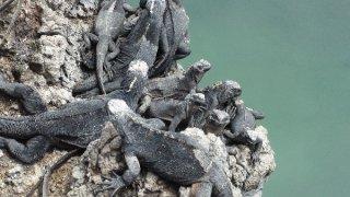 Iguanes sur les îles Galapagos