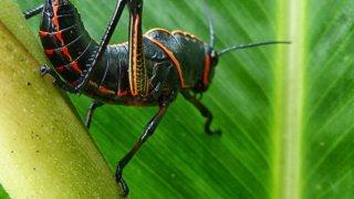 Insecte de la Jungle du Sud Costa Rica