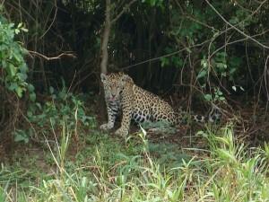 Le Jaguar – Pantanal Nord – Brésil