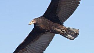 jote cabeza amarilla – Birdwatching Argentine