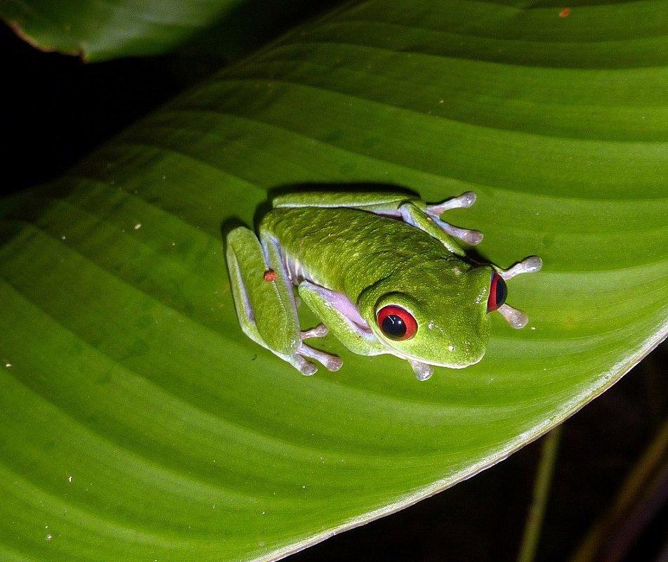 La célèbre grenouille du Costa Rica