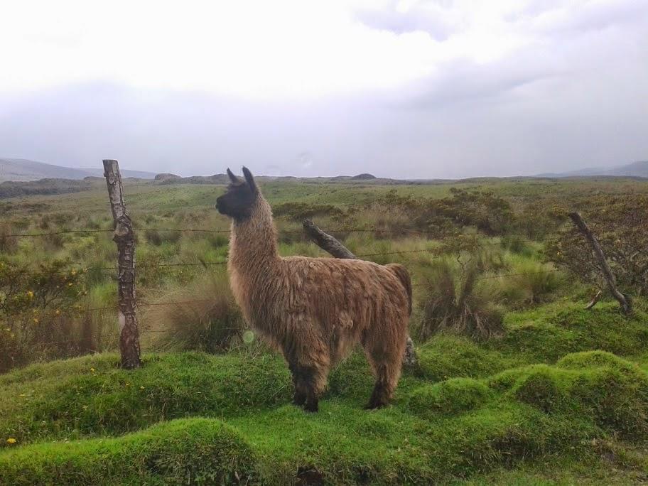 Lama, Cordillère des Andes, Equateur