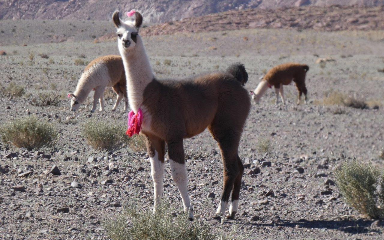 Lamas chiliens