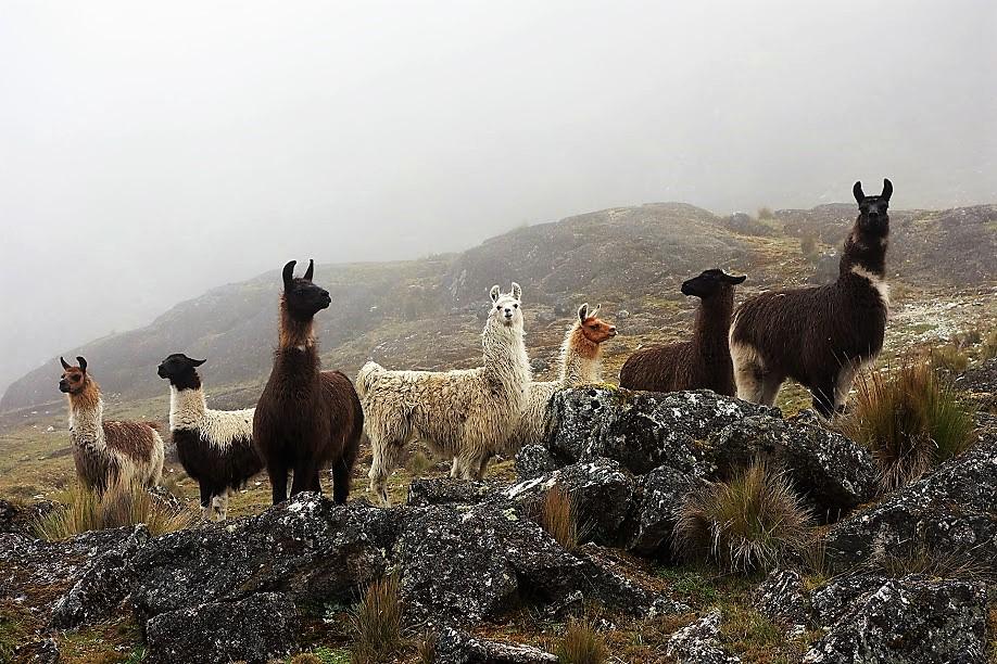 Lamas dans le brouillard, vallée du Choro