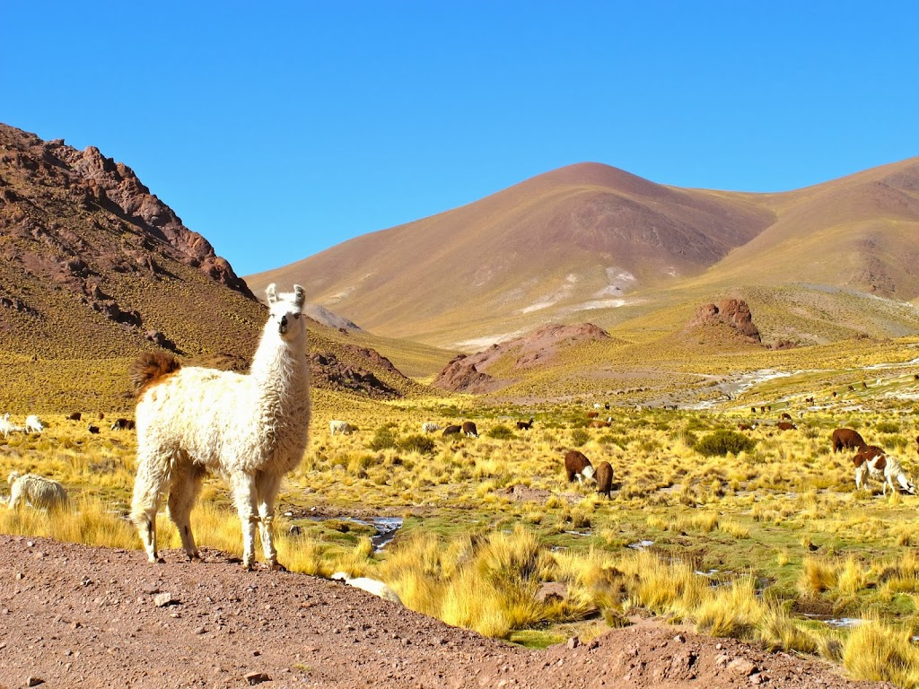 Lamas on the road – Nord Ouest Argentin