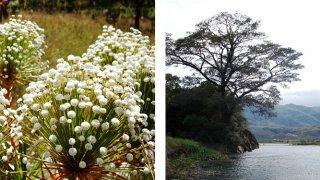 Lapinha – Sempre Vivas, fleurs typiques de la Serra do Cipó ; vue des montagnes depuis le barrage