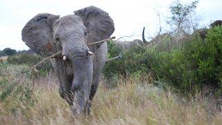 L'attaque de l'éléphant armé dans la réserve Welgevonden