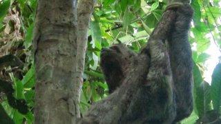 Le Paresseux – observation de la faune en Amazonie péruvienne