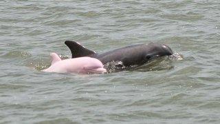Les dauphins roses et gris du Fleuve Amazone