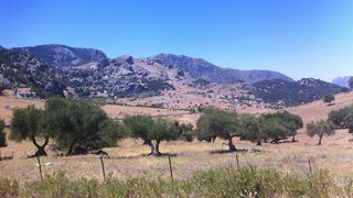 Les oliviers d'Andalousie
