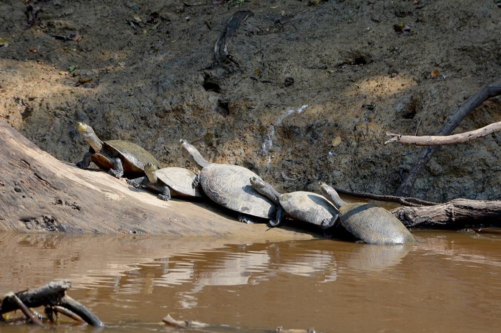 Les tortues se dorent la pilule – Amazonie bolivienne