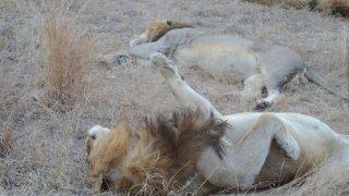 Lion mâle se reposant après le repas