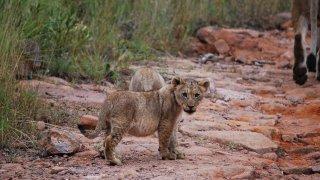 Lionceaux dans la réserve Mabula