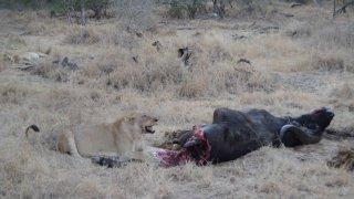 Lionne en chasse dans le Sabi Sand