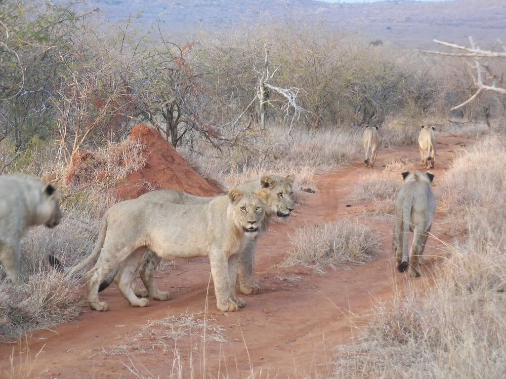 Lions au Parc Madikwe, Afrique du Sud