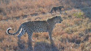 Maman léopard et son bébé en balade