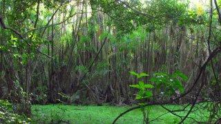Marécage – Amazonie, Pérou