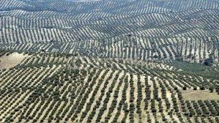 Oliviers à perte de vue, province de Jaen, Espagne