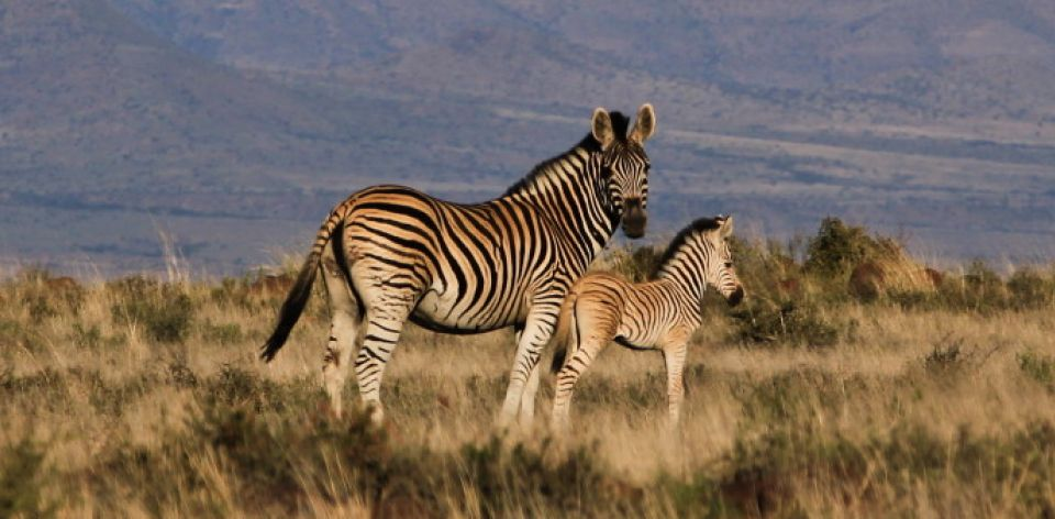 Mountain Zebra National Park – Karoo, Afrique du Sud