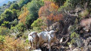 Moutons dans les montagnes – Lesotho