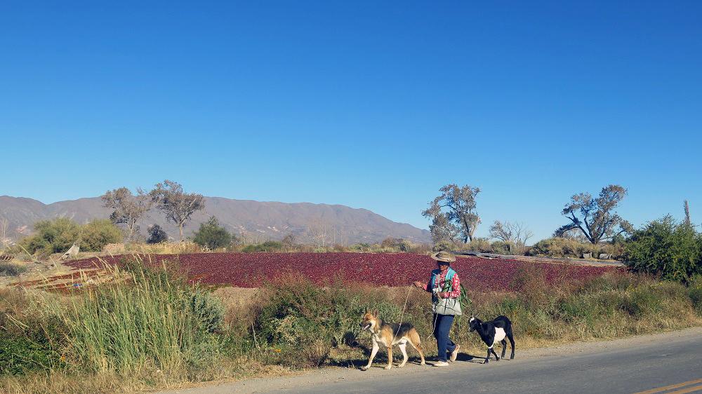 En bord de route, les champs de piments, Cachi, Nord-Ouest argentin