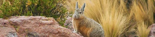 Viscacha des Andes