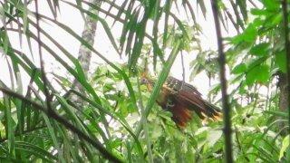 Observation des oiseaux – Amazonie Pérou
