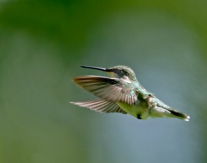 Colibri – Pérou