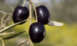 Olives noires de la région de Jaen, Espagne