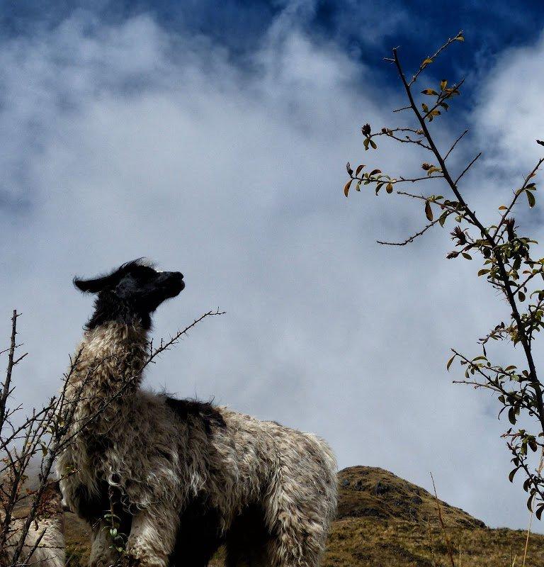 Lama – Bolivie