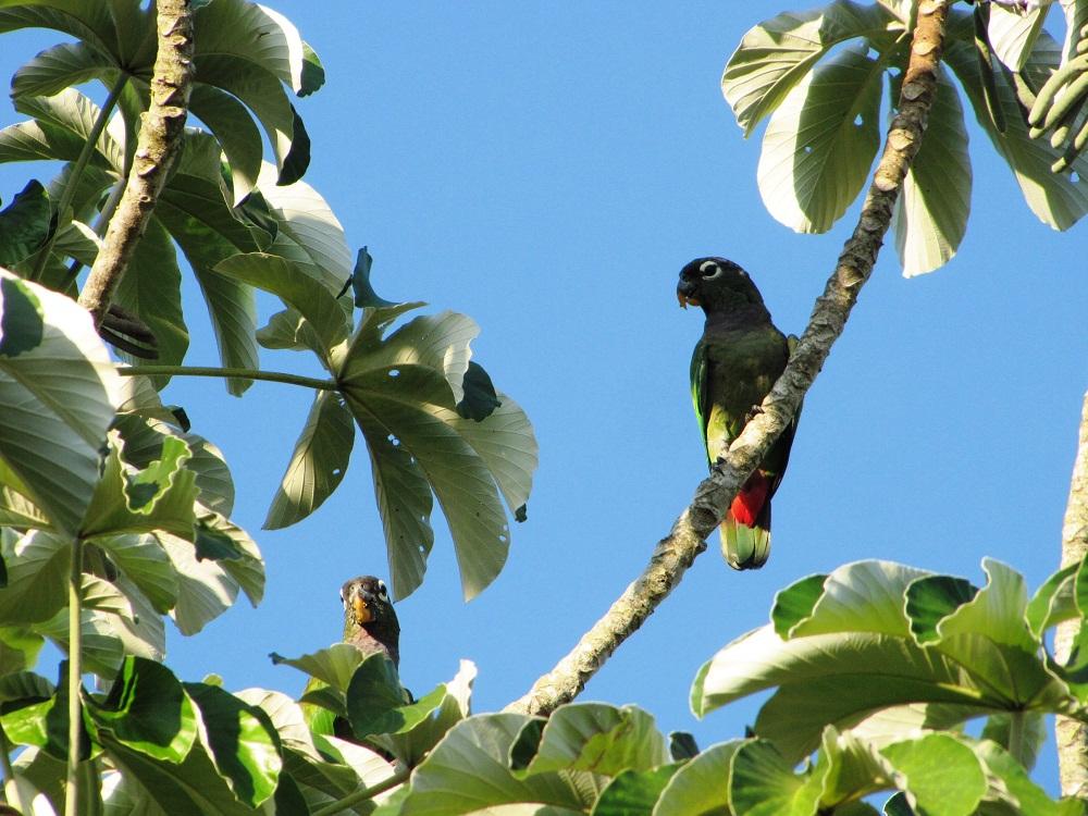 Perroquet du Pantanal, Brésil