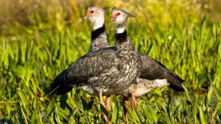 pareja chajas – Observation d'oiseaux, Esteros del Ibera