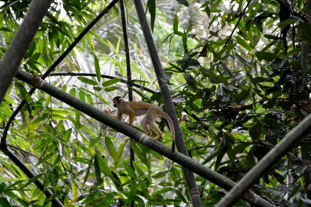 Petit singe jaune – Amazonie bolivienne