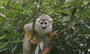 Singe – Amazonie Equateur