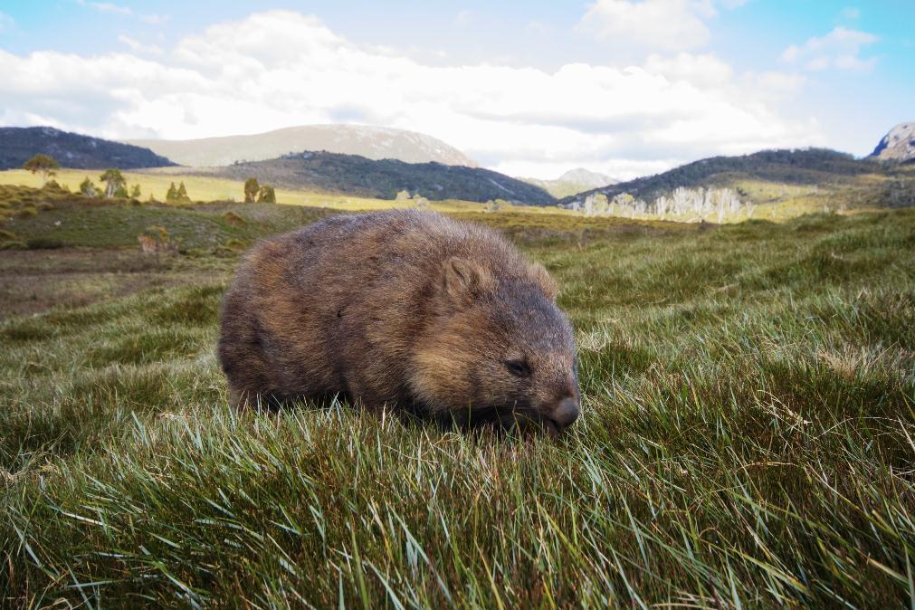 Wombat, Craddle Mountain – Tasmanie, Australie