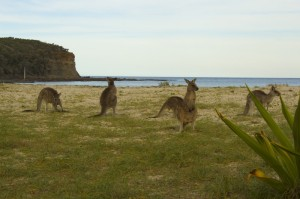 Kangourous à Pebbly Beach – Côte australienne