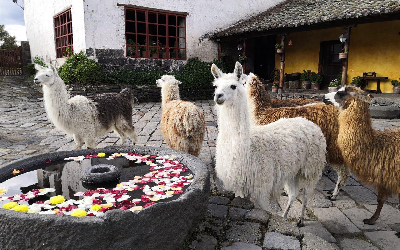 En plus, vous y verrez plein de lamas et d'alpagas !