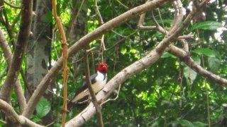 Pivert – Jungle amazonienne, Pérou