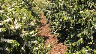 Plantation de café Brésil