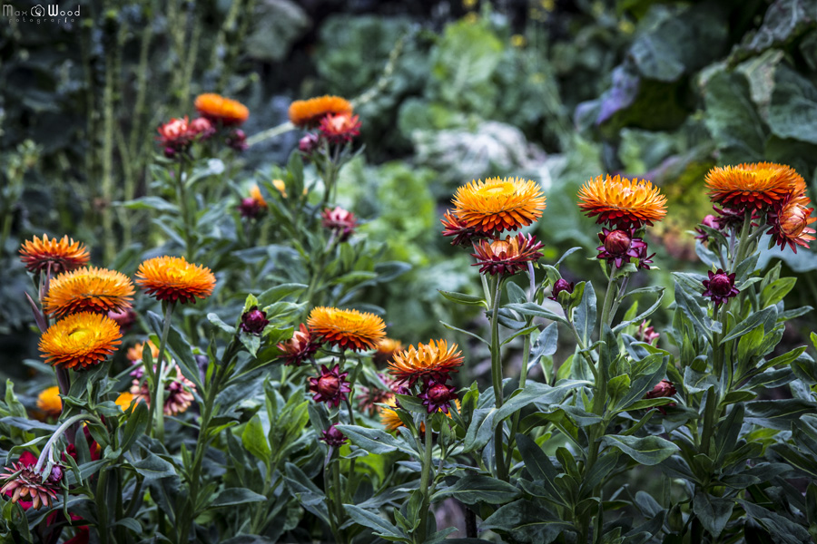 Plantes médicinales Kallawayas – Cordillère Apolobamba, Bolivie