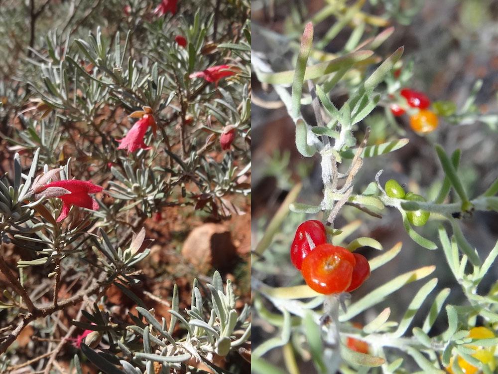 Prostanthera aspalathoides ; Enchylaena tomentosa – Australie