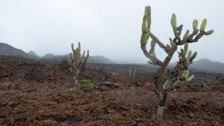 Quelques cactus ont réussi à percer la carapace des plus anciennes coulées