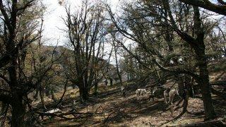 Randonnée à cheval en Patagonie argentine, traversée d'un bois de lengas