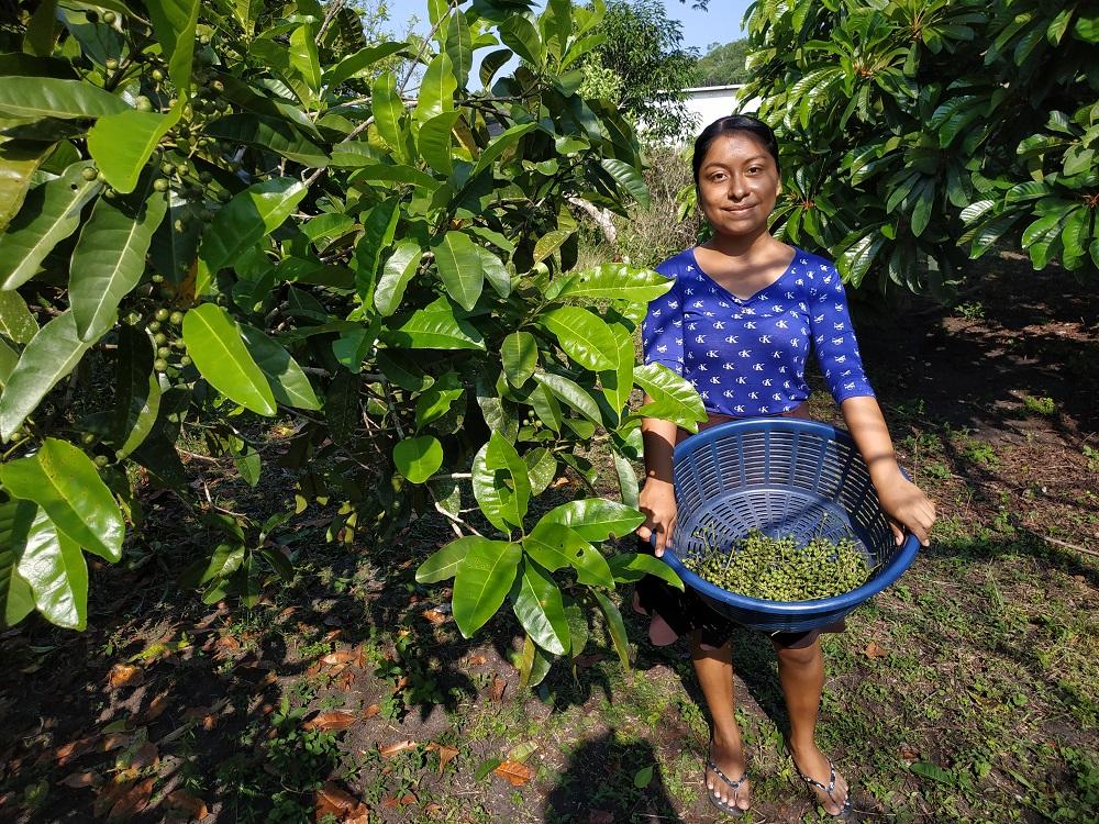 Récolte du poivre de Jamaique