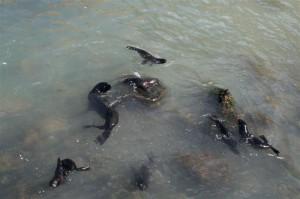 Lions de mer – île Robinson Crusoé, Chili