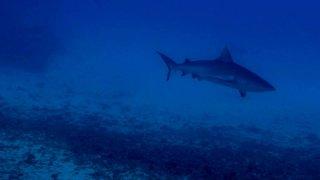 Requin a pointe blanche à São Sebastião – Mozambique