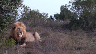 Ne vous fiez pas à son air tranquille, ce gros chat réfléchit déjà à son prochain repas – Voyage Afrique du Sud
